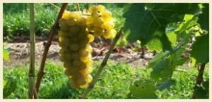 winogrono_seyval_blanc